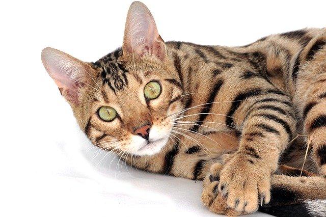 Rasowe koty domowe – abc-kot.pl