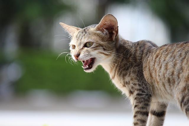 kot miauczy