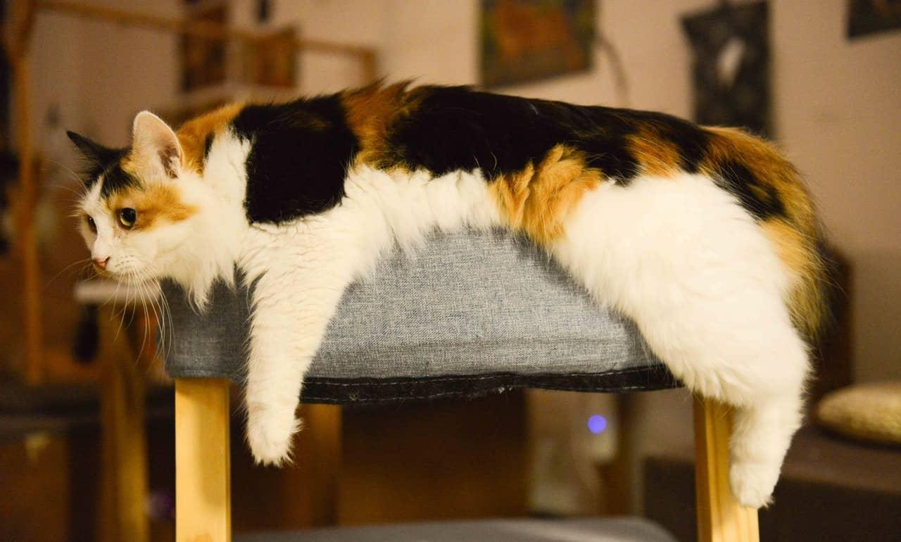 kot szylkretowy