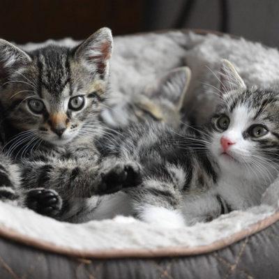 Ciąża u kota