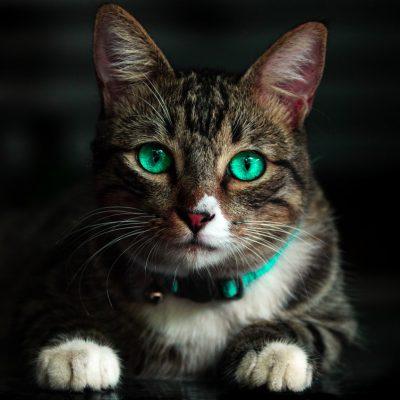 Koci trądzik