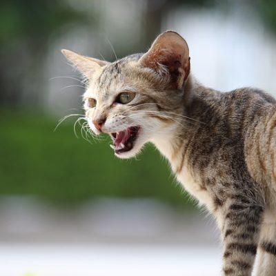 Dlaczego mój kot miauczy?