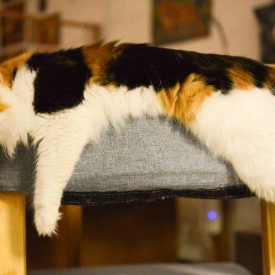 Kot szylkretowy – jakiego jest koloru?