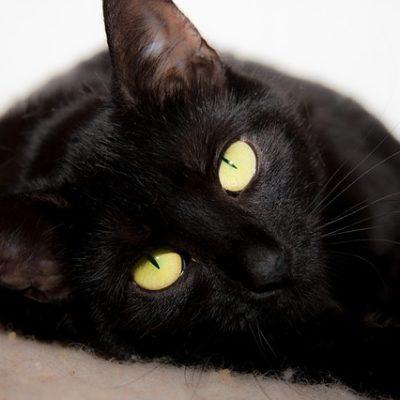 Kot z rodowodem – Czy kot rasowy musi mieć rodowód?